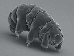 Milnesium_tardigradum